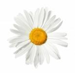 1243993_daisy_isolated
